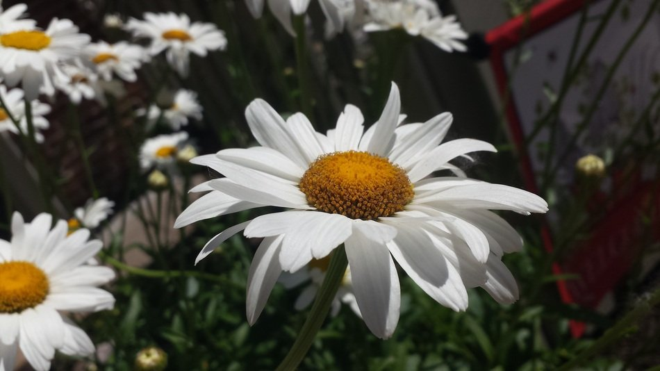 white daisies in the sun close up