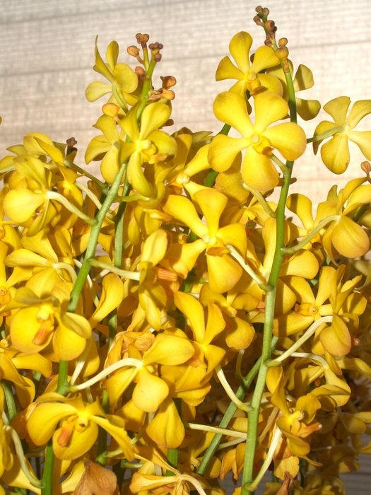 yellow small orchids close-up
