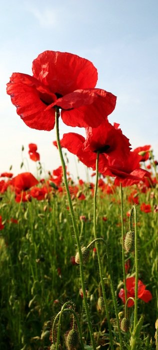 red poppies in the green field grass