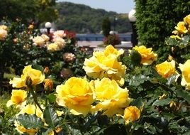 yellow rose bush in the park