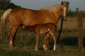 foal feeds on mare\'s milk