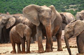 herd of wild elephants