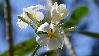 frangipani is an exotic plant