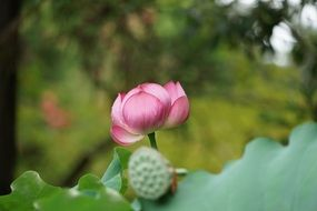pink lotus is a symbol of pure land in japan