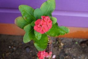 Thorn Flower Red Euphorbia Milii