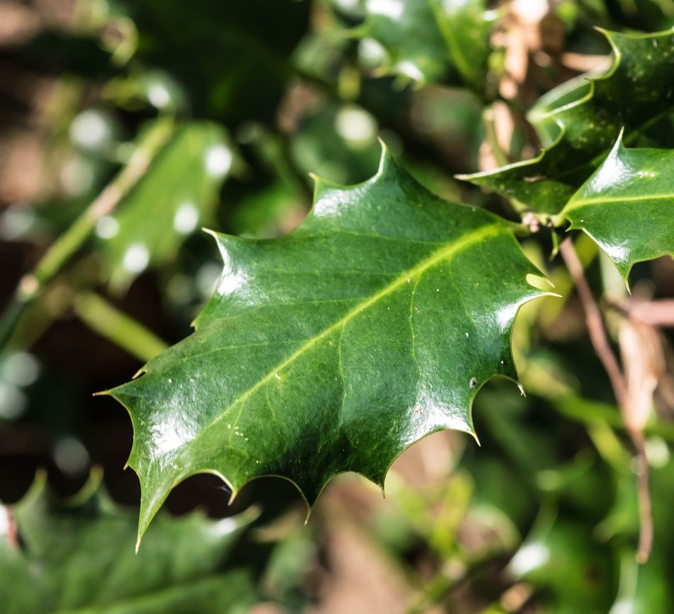 sunlight on green holly leaves