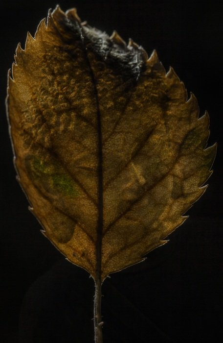 autumn leaf on a black background