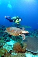 diver swims near the turtle under water