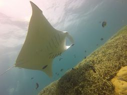 Manta Ray in the underwater world