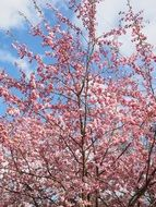 pink ornamental cherry tree