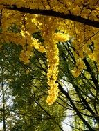 picture of the yellow leafed tree
