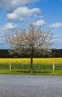 blooming cherry tree against a background of yellow rape field