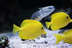 Tropical Fish Yellow