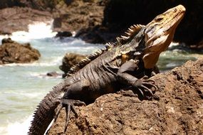Picture of iguana is on a rock