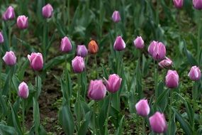 pink tulips on a flowerbed in a park