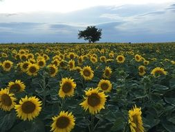 Field Sunflower
