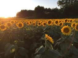 Sunflowers Field Sunset
