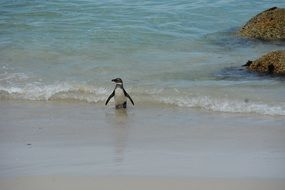 lonely penguin on a beach in south africa