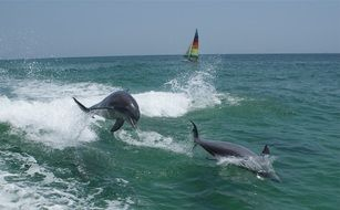blue dolphins jump in the water