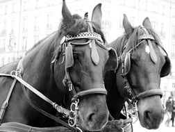 Black and white photo of dressed up Horses