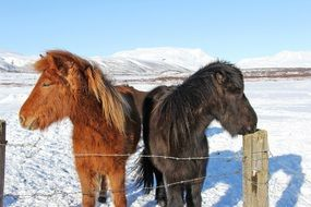 cute unique horses in Iceland