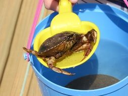 Picture of Crab in a water in bucket