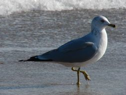 gray seagull walks along the water along the beach