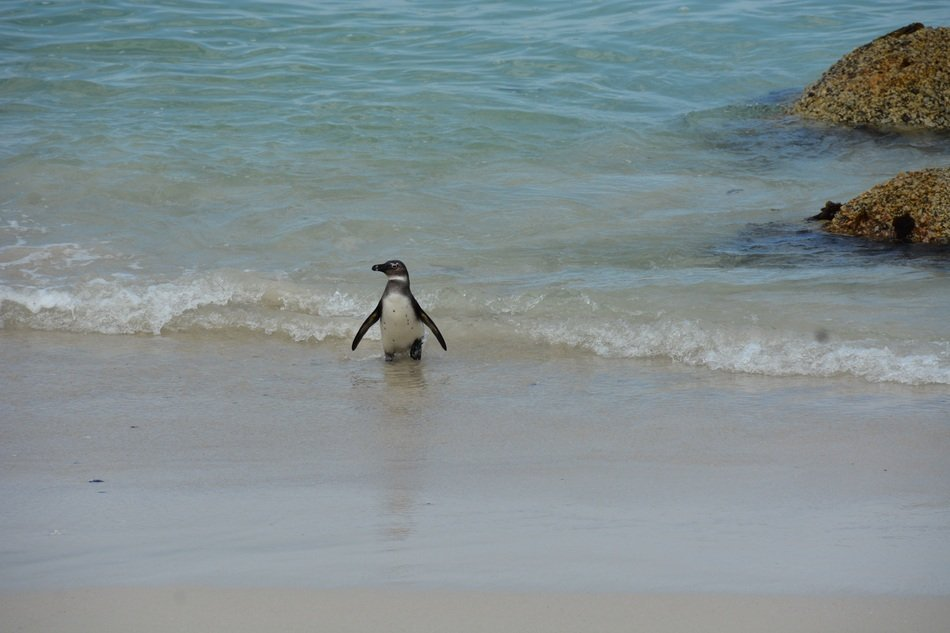 penguin on a beach near the rocks in south africa