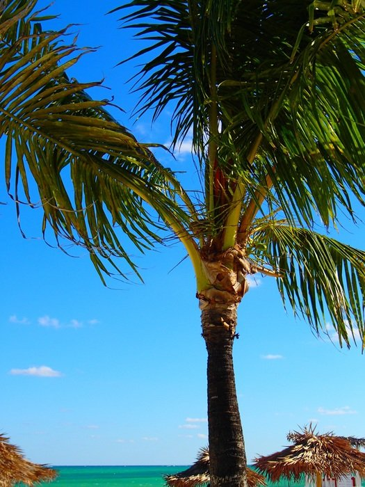 Picture of Palm Tree on a Tropical Beach