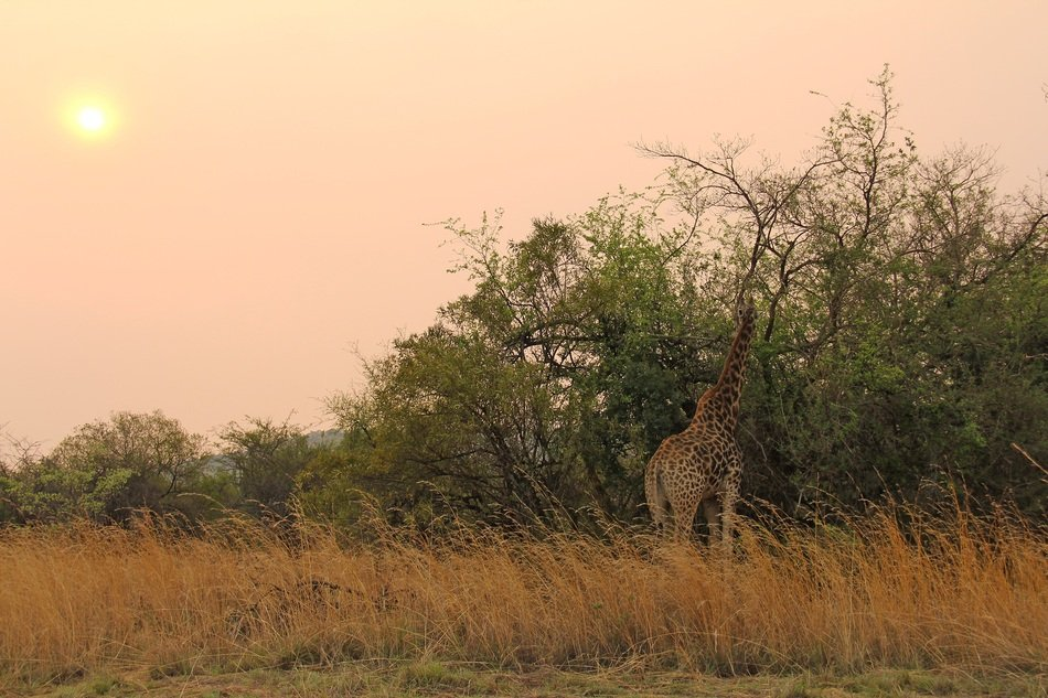 giraffe among nature at sunset in south africa