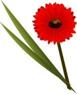 isolated red gerbera flower