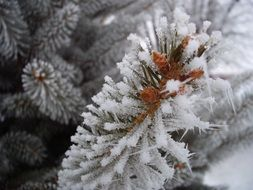 frost winter pine snow tree