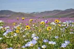 colorful hills flowering field