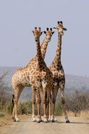 south africa hluhluwe giraffes