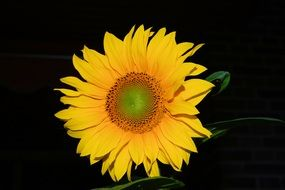 Photo of yellow sunflower