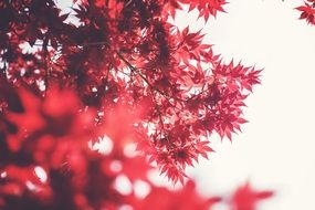 maple leaves red autumn fall