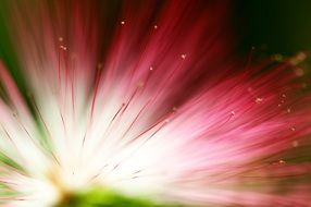 eucalyptus flower floral background