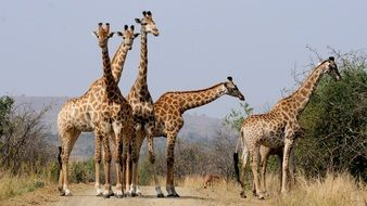 giraffes in national park