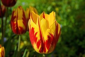 blossom bloom tulip red yellow