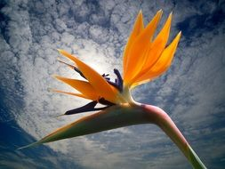 blossom bloom strelitzia flowers