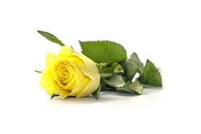 flower rose yellow cut natural