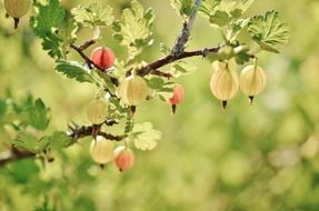 gooseberry fruits red spring
