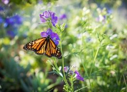 monarch butterfly on purple flower in the garden