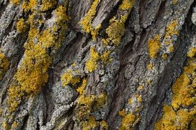 tree bark texture with lichen