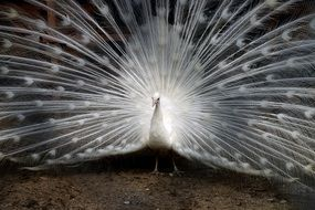 white peacock tail