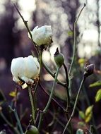 rose white winter flower blossom