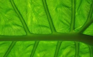 green leaf veins close up