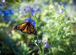 monarch butterfly on the purple flower