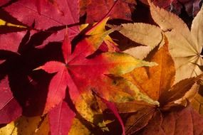 maroon and yellow maple leaves