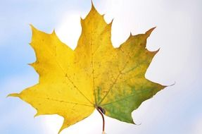 yellow-green maple leaf